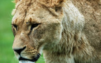 Trophy Hunting: Controversial Again