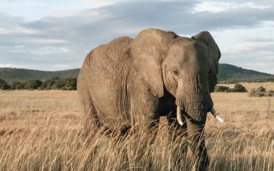 Hunting Restores Wildlife in Mozambique