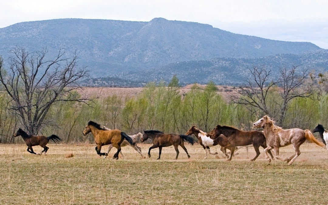 Rescuing the Wild Horses on Public Lands