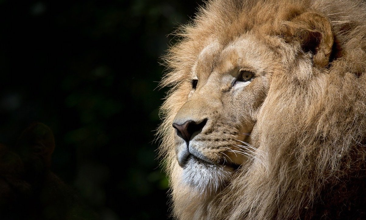 Male_Lion