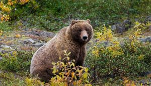 Federal court rejects Trump efforts to reduce grizzly protection level.