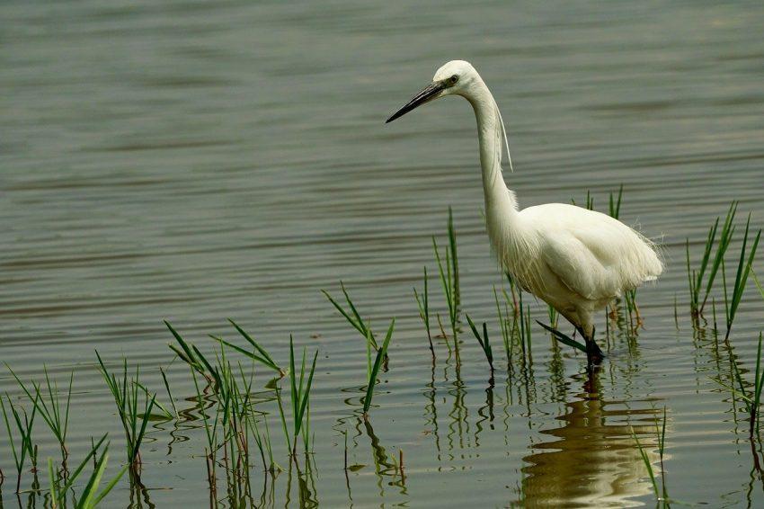 Egret, Symbol of the National Audubon Society y