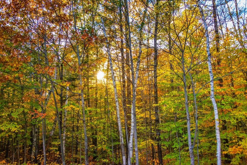 Massachusetts Trees