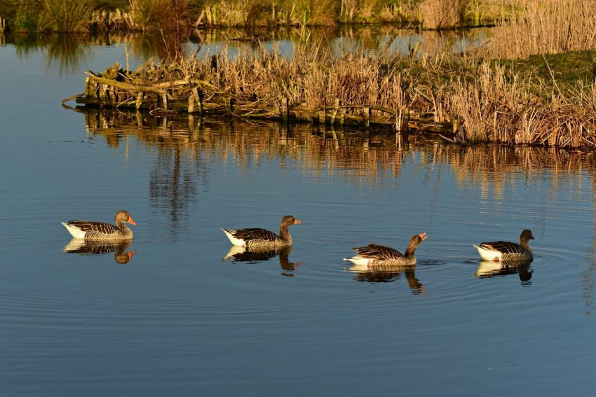 Ducks in pond or lake
